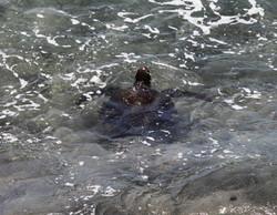 Sea turtle, Hanga Roa