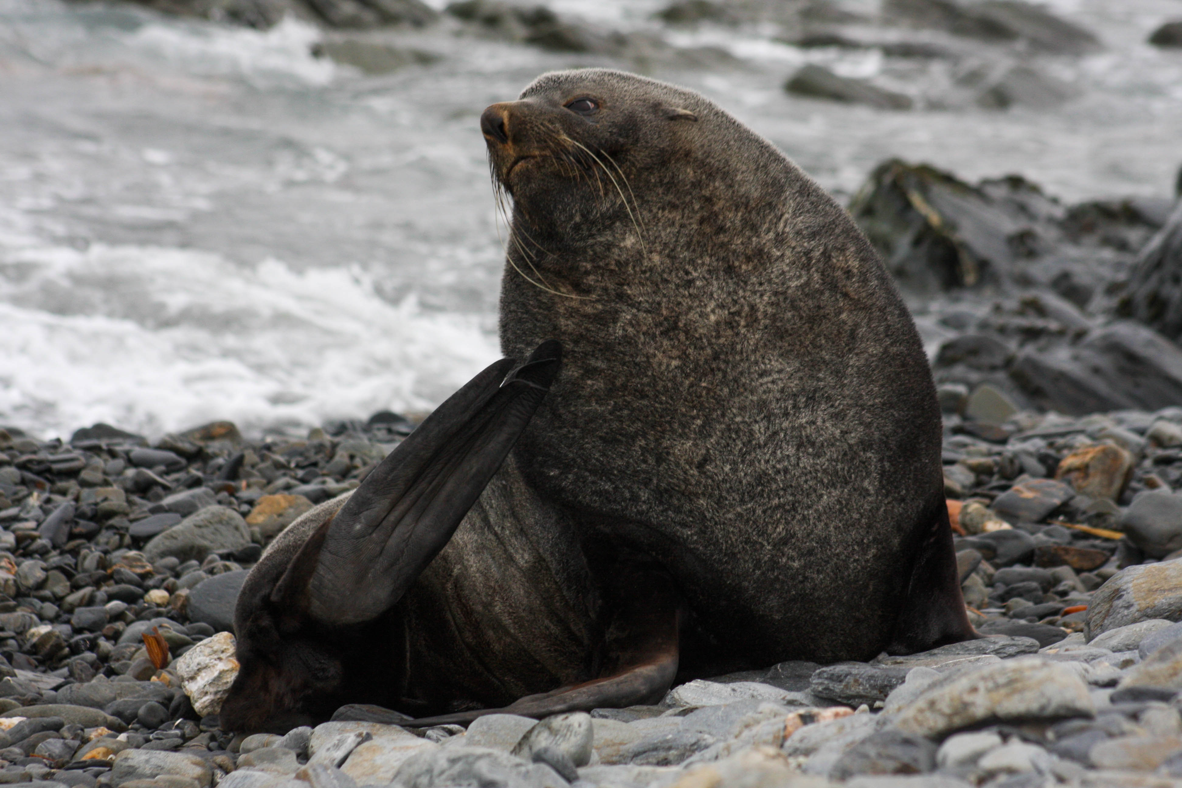 Fur Seal, Elsehul, South Georgia