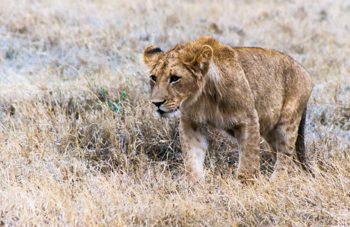 Young lion, Ngorogoro Crater, Tanzania