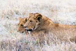 Young lions, Ngorogoro Crater, Tanzania.
