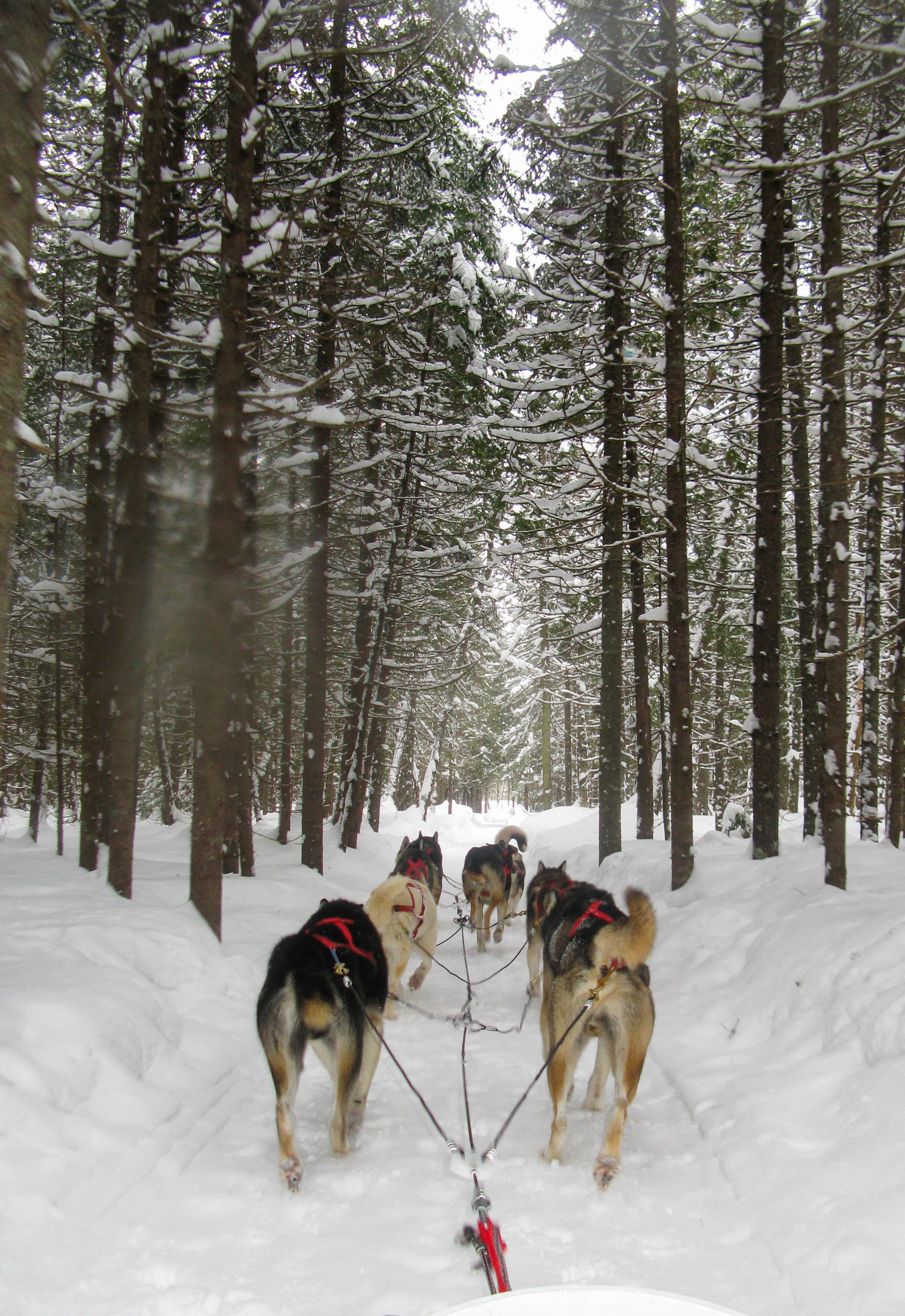Dog sledding, Québec