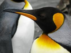 King Penguin 2, South Georgia
