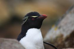 Rockhopper Penguin, New Island, The Falklands