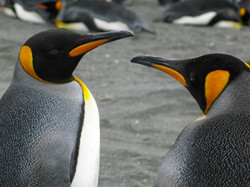 King Penguins, South Georiga