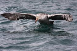 Southern Giant Petrel landing