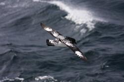 Pintado (Cape) Petrel, Southern Ocean
