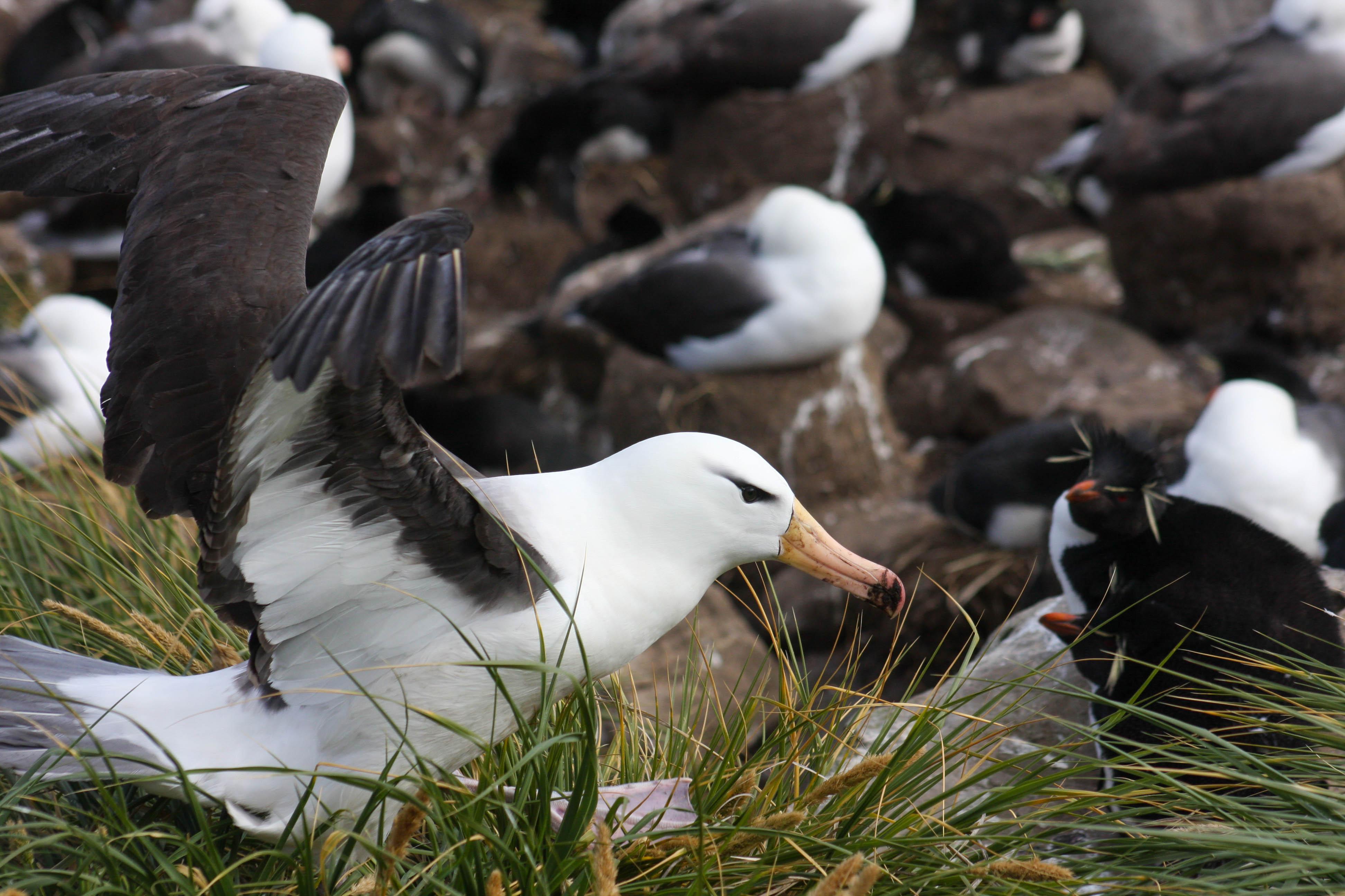 Albatross take off, West Point Island, The Falklands