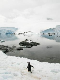 Wandering Gentoo, Goudier Island, Antarctic Peninsula