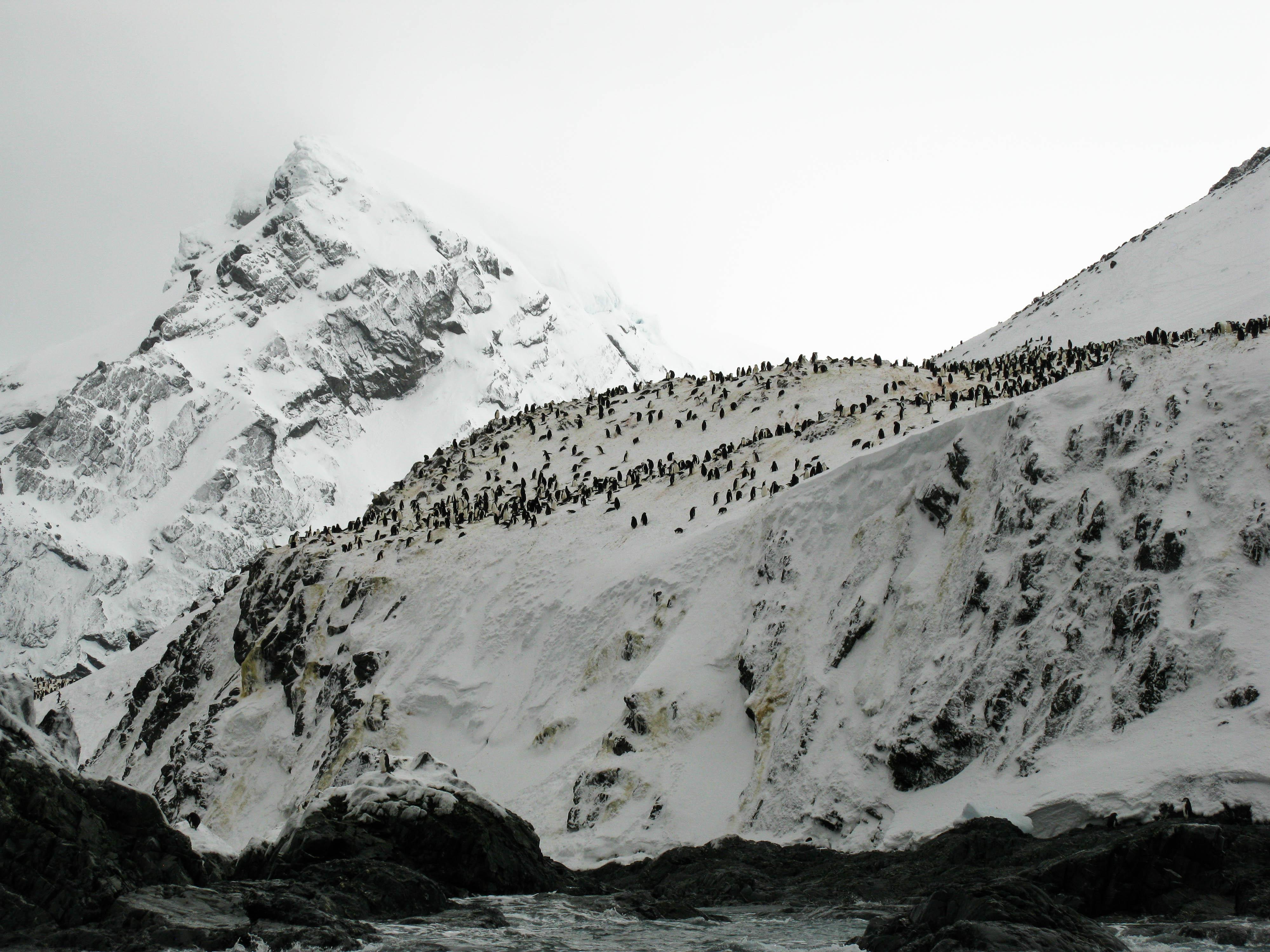 Chinstrap Penguin colony, Elephant Island