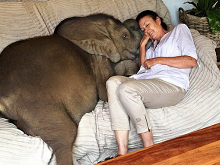 Baby Elephant Was Washed Away In Flooded River, Now Follows His Human Mom Everywhere