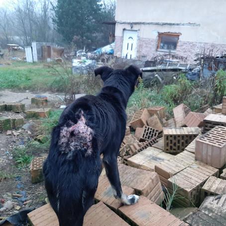 Gennyes sebbel a hátán vegetált a kutya Isaszegen - Videó
