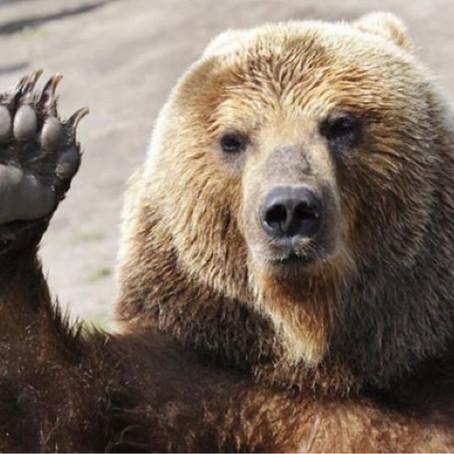 Döntött a szlovén kormány, megtizedelik a medvéket és a farkasokat
