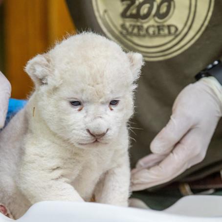 Ő Szonja, a Szegedi Vadaspark újszülött fehér oroszlánja