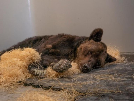 French circus bear Mischa dies after years of cruelty