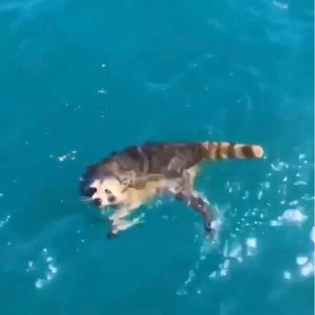 A tengerbe dobtak egy hajón ragadt mosómedvét. Az állat valószínűleg meghalt.