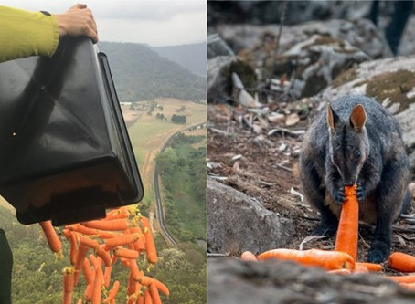 Choppers Drop Off Carrots To Feed Starving Wildlife In The Australian Bushfire Crisis