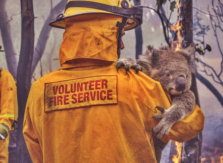 "350 koalas have been ""incinerated"" in the blazes."