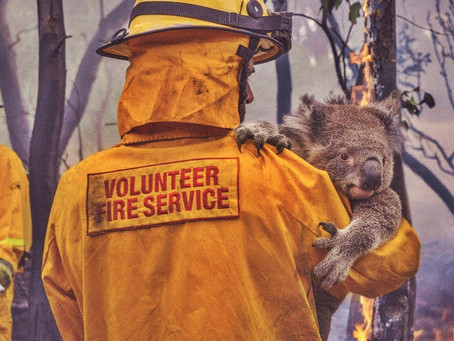 "350 koalas have been ""incinerated"" in the blazes."