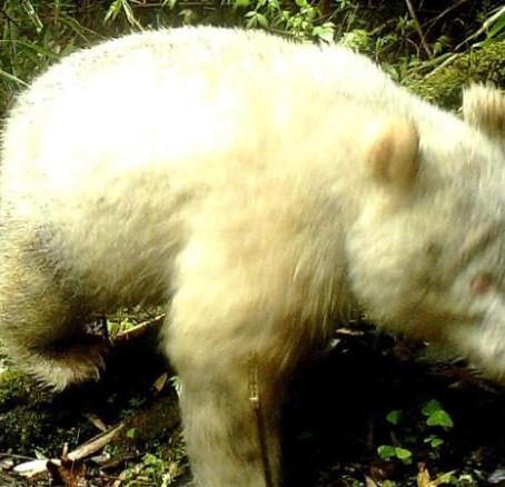 Most először örökítettek meg albínó óriáspandát