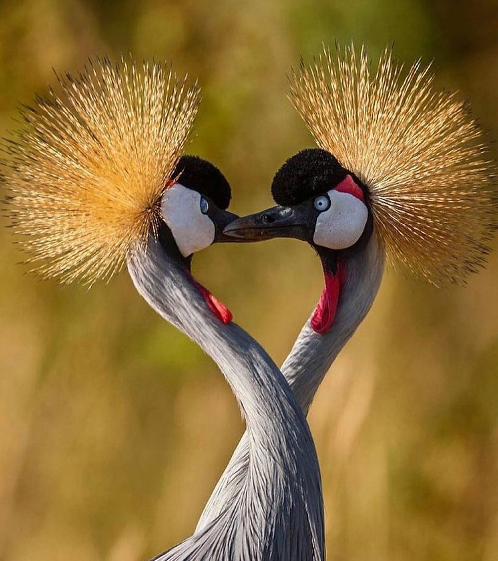 Crested Cranes - Uganda's national bird