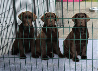 13 weeks old puppies in Riverlab´s by Ra