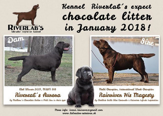 Kennel Riverlab's expect chocolate litte