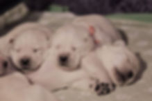 our 10 days old puppies from combination