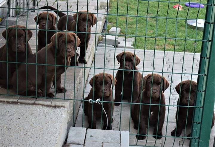 Riverlab´s 9 weeks old puppies by Rainri
