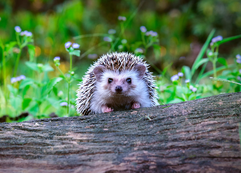 Dwraf hedgehog on stump, Young hedgehog on timber wiith eye contact, Sunset and sorft light, Bokeo b
