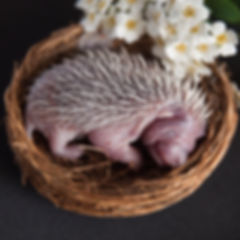 newborn hedgehogs in baskets of flowers. In the style of newborn photos