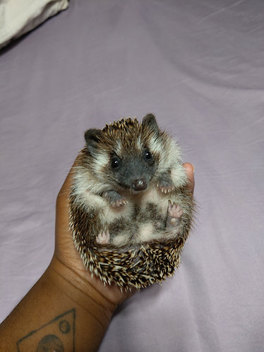 ~ADOPTED~Hubble (Juvenile)