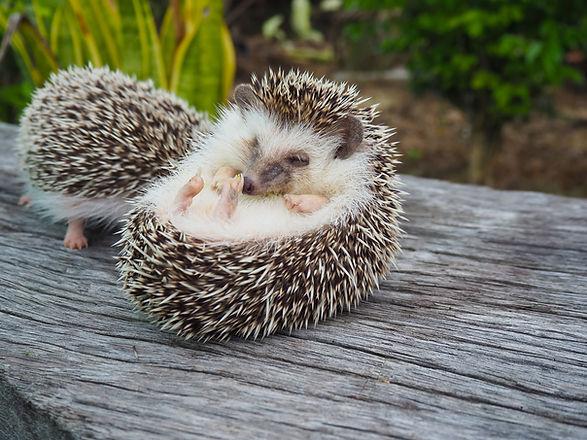 Hedgehog sleep on the sticks.jpg
