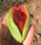 saguaro fruit, BotanyDoc consulting