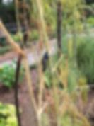 8-6 Black Swallowtail Pupating on Dill.J