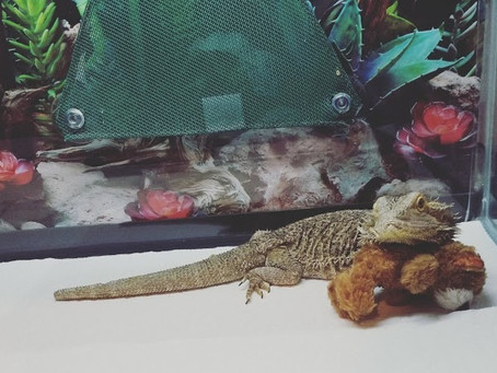 Bearded dragons: great pets for kids!