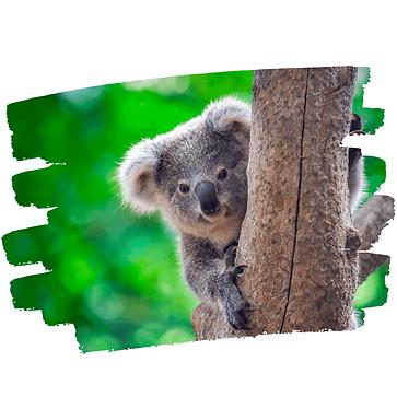 Koala-web-2.png