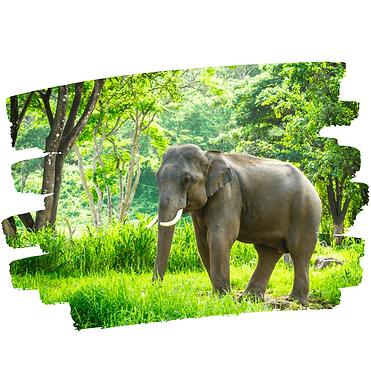 Elephant-web-2.png