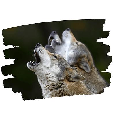 Loups-web-2.png