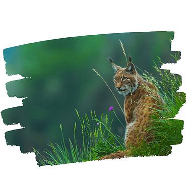 Lynx-web-2.png