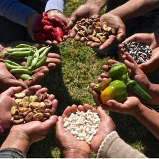 La privatización de las semillas representaría un golpe para las familias y las economías campesinas