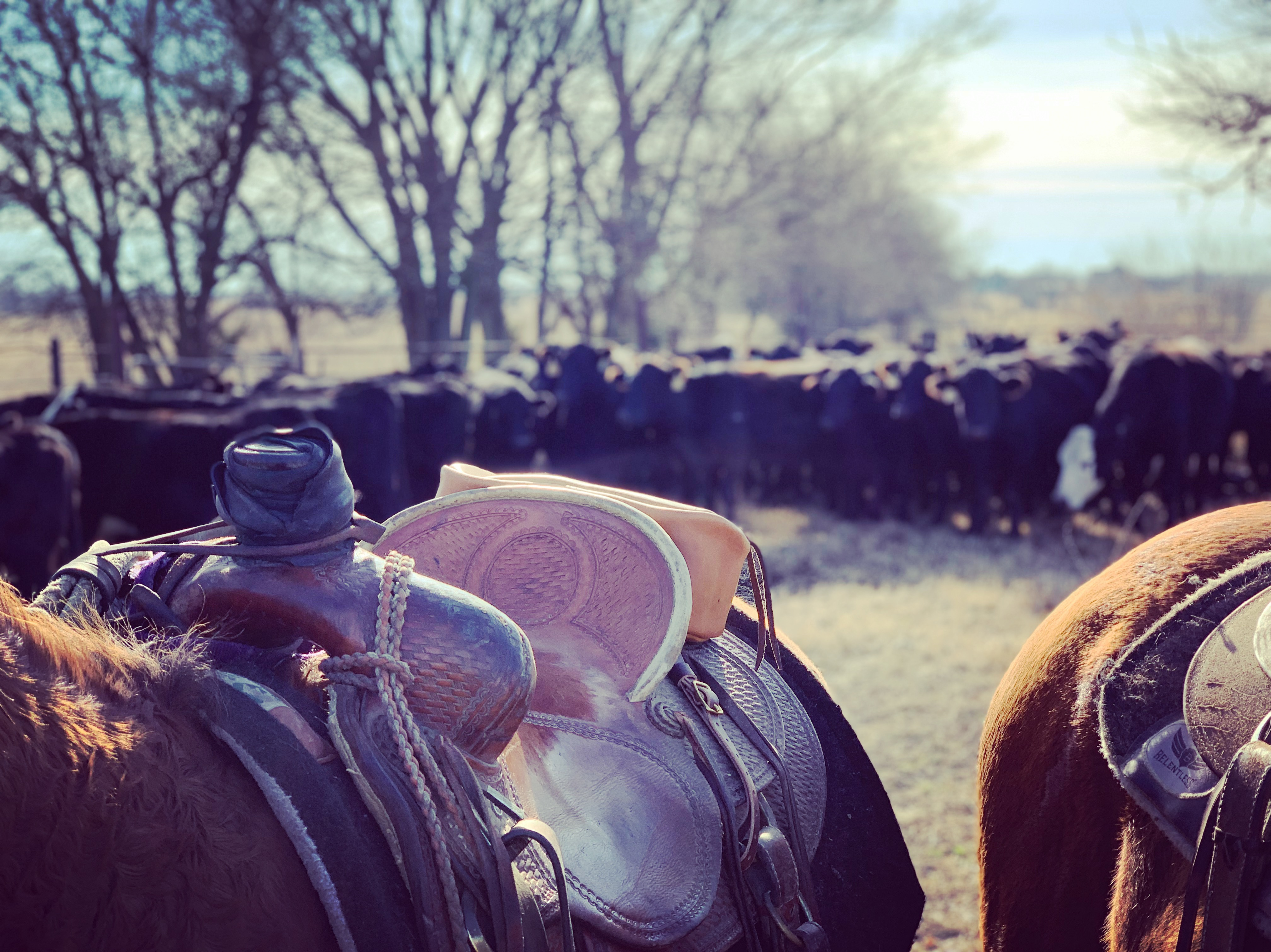 Saddle & Cattle