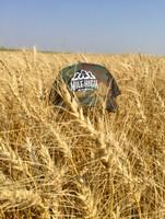 Wheat Harvest in North Dakota