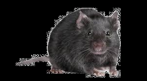 rat%20png_edited.png