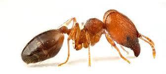 big head ant.jpg