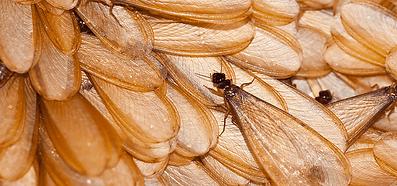 drywood-termite.png
