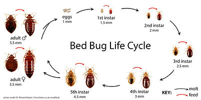 bedbugscycle.jpg