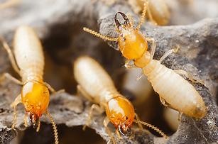 formosan-termites.png