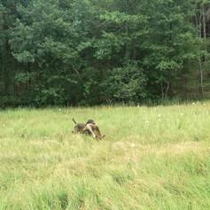beschossenen Fuchs abgetan und gebracht!