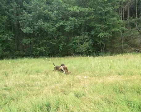 Nachsuche auf einen Fuchs