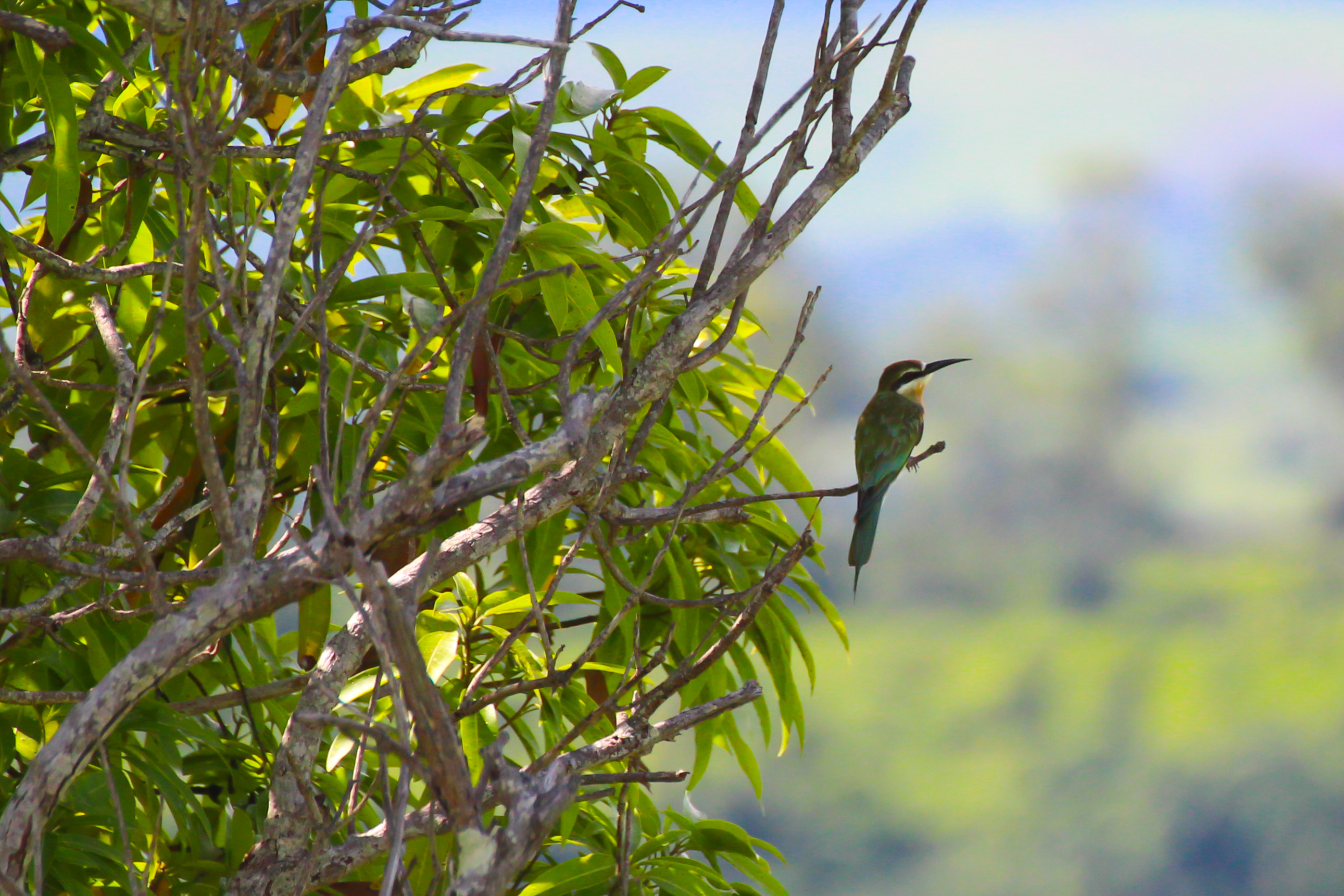 Madagascan bee-eater